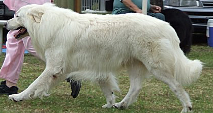the maremma shown in the photo is typcial of both the points described in the breed standard, but just as importantly he is typical of the general appearance description