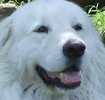 the almond shaped eye of the maremma is a critical point in obtaining the melting expression this breed is loved for