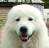 this head shows excellent breadth, almond shaped eyes and good angles that are typical of the maremma sheepdog