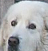 the eyes of this maremma are too round rather than almond shaped