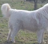 this maremma has a good straight topline and a strong body overall
