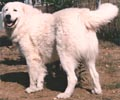 this maremma depicts the descriptino of a dog that is powerful - the hindquarter development of this dog even underneath the hair growth suggests great strength