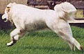 the same dog as the previous photo showing the extension stage of the run this dog displays, the strong hind legs are propelling the body well forward and the strong fore legs will take his weight ready for the hind legs to bunch up for the next lunge