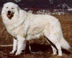 excellent example of an italian maremma that meets all the criteria in the breed standards
