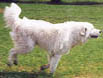 lovely depcition of a maremma in full running mode displaying good movement, he shows beautiful angulation and great strength in all parts of his body, particularly for a young dog