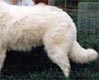 this dog displays a straight back - look first at the angulation of the hind legs compared to the dogs with poor backs and you can see how much hind leg angulation will affect the hips and topline
