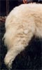 this dog displays lovely hind quarters for strength, balance and powerful movement - this is so important for a livestock guardian who may have to range wide territories daily to mark perimeters or deal with large predators