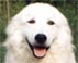 this maremma displays and excellent mouth, muzzle and lips. she is only a young dog showing clearly the pigmentation that should surround the lips and eyes to protect her from the sun