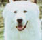 the eyes on this maremma are too close together and set too straight, because they are more rounded they do not give such a squinting appearance