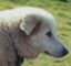 this maremma also has a very fine, narrow muzzle which gives the impression of being snipey and causes the eyes to be set too far in front of the head with little distance between them, rather than set far apart to make the melting expression