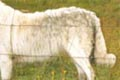 the very long body, incorrect leg angles and high rump give this unfortunate maremma a sausage dog apprearance and movement that are not at all typcial of livestock guardians and never a desirable body shape to breed from