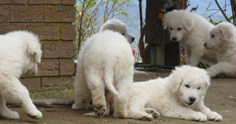 a litter of exceptional maremma sheepdog puppies at play - these pups display very strong bodies, broad heads and lovely expression at only 8 weeks of age