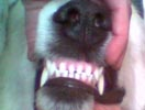 the spacing between the top teeth on this dog are unever and the teeth do not all sit straight. this is preventing a true scissor bite that is desirable for a long life of eating well