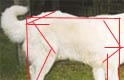 notice when you look at the measuring lengths and angles image how the angles on this dog differ from the ideal in both the hip and shoulder area
