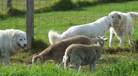typical maremma sheedpogs socialising wth sheep who are well used to livestock guardians being in the paddock with them