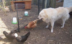 chickens are now visibly calm and relaxed with the maremma right in with them