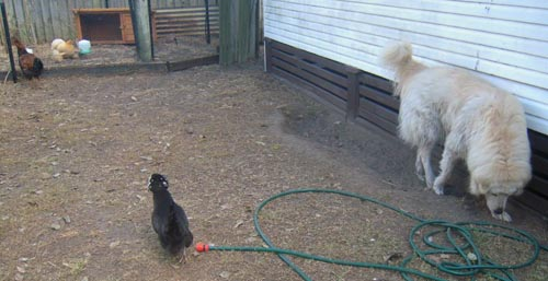 early stages of the chickens and maremma bonding to each other