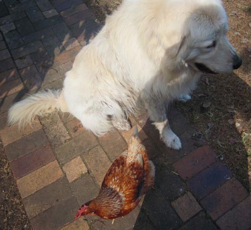 this chicken is bonded to it's maremma guardian as can be seen by how calm and relaxed the chicken is with her dog beside her
