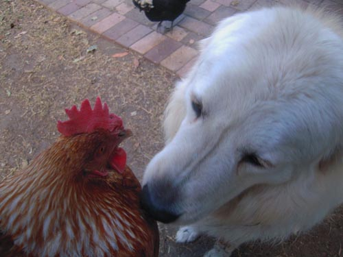 this chicken is now very calm even with the maremma being so close and inspecting it