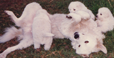male maremma playing with his pups displaying the loving nature of these livestock guardian dogs