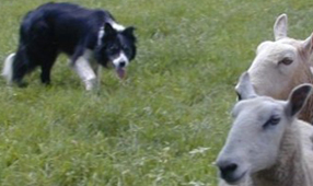 border collie displaying the eye stalk behaviour that is integral to the predator motor pattern needed for working dogs and predators but is absent in the livestock guarding dog breeds