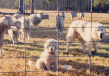 maremma sheepdog puppy with herd of goats displaying good calm temperament and attitude to her herd at only a few months of age. A young pup must be fed a quality high protein diet, wormed for internal parasites regularly, fully vaccinated and microchipped and have access always to clean water. Many breeders will whelp their pups in livestock barns so that the puppies first impressions are of living with livestock. Whelping areas and whelping boxes are simple to place in barns. All dogs need careful raising and guidance as they grown from puppies, whether they are police dogs, companions, therapy dogs, disability assistance dogs, sheepdogs, retrievers, or livestock guardians, but no dog-training will replace a good solid temperament from good bloodlines