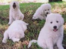 maremma puppies display different behaviour to other breeds of dogs that show how the nature of guarding livestock is bred into them