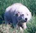 maremma sheepdog rushing forward at a perceived threat to her livestock. this is typical livestock guarding behaviour and shows a protective dog doing her job