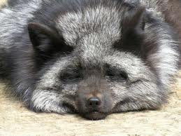 a silver fox as was used in breeding experiment for breeding tame foxes that resulted in incredible behaviour changes