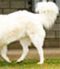 the stiff movement of the hind legs of this maremma are an indication of hip dysplasia, if your dog moves like this please have him checked by your veterinarian for a diagnosis and management plan